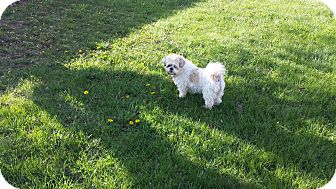 Shih Tzu Mix Dog for adoption in Schofield, Wisconsin - Gismo