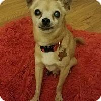 Adopt A Pet :: Chulo - Manhattan Beach, CA