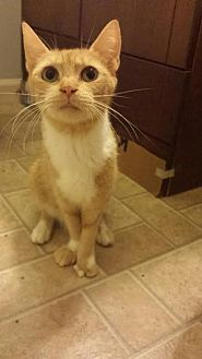 Domestic Shorthair Cat for adoption in Harrisburg, Pennsylvania - Ishka (adult female)