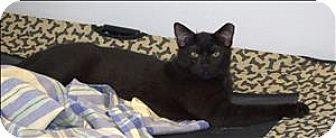 Domestic Shorthair Cat for adoption in Portsmouth, Virginia - Nimbus