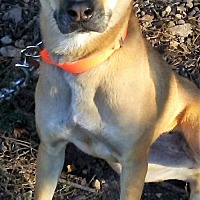Labrador Retriever/Terrier (Unknown Type, Medium) Mix Dog for adoption in Florence, Kentucky - Bess
