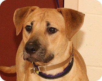 Retriever (Unknown Type) Mix Dog for adoption in McDonough, Georgia - Pretzel