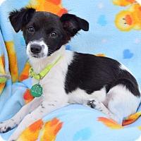 Adopt A Pet :: PIPPA - Marina Del Ray, CA