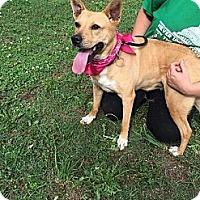 Carolina Dog/Boxer Mix Dog for adoption in Ann Arbor, Michigan - Ember