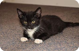 Domestic Shorthair Kitten for adoption in Wichita, Kansas - Geppetto