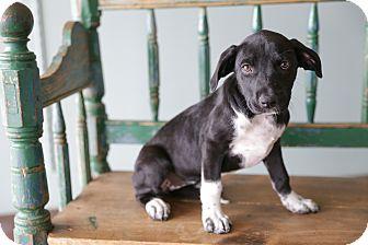 Labrador Retriever/Pit Bull Terrier Mix Puppy for adoption in San Antonio, Texas - Sasha