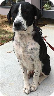 Border Collie/Labrador Retriever Mix Dog for adoption in Rockville, Maryland - Sadie