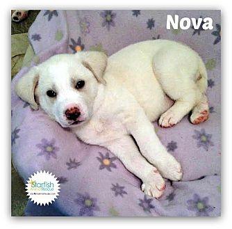 Great Pyrenees/Labrador Retriever Mix Puppy for adoption in Plainfield, Illinois - Nova