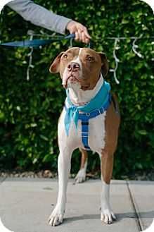 Boxer/American Staffordshire Terrier Mix Dog for adoption in Los Angeles, California - Rocky is a STAR!