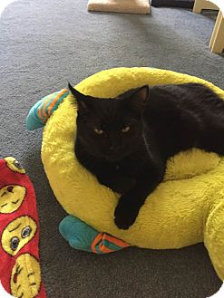 Domestic Shorthair Kitten for adoption in Lanoka Harbor, New Jersey - COLE
