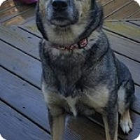 Husky/Shepherd (Unknown Type) Mix Dog for adoption in Glen Burnie, Maryland - Abby