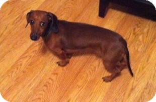 Dachshund Dog for adoption in Chattanooga, Tennessee - Oscar