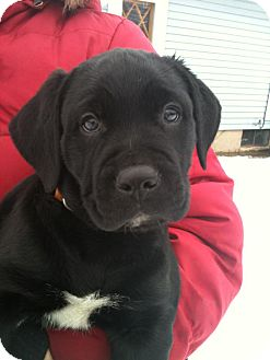 Labrador Retriever/Boxer Mix Puppy for adoption in Hadley, Michigan - Axle