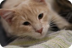 Domestic Mediumhair Cat for adoption in Sacramento, California - Marlon