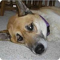 Adopt A Pet :: Bo - Belleville, MI