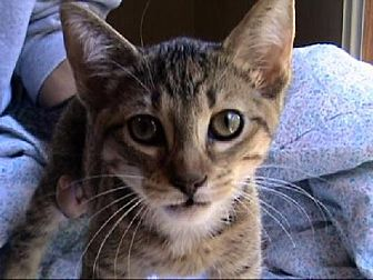 Domestic Shorthair Cat for adoption in Tyler, Texas - A-Kitten #3