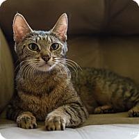 Adopt A Pet :: Druscilla - Addison, IL