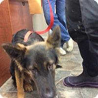Smithtown Ny German Shepherd Dog German Shepherd Dog Mix Meet Kyle A Dog For Adoption