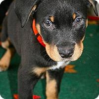 Adopt A Pet :: Mr. Orange - Surrey, BC