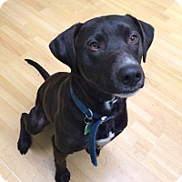 Adopt A Pet :: Blackie in CT - Manchester, CT