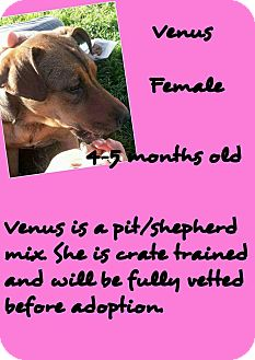American Pit Bull Terrier/Shepherd (Unknown Type) Mix Puppy for adoption in Stephenville, Texas - Venus
