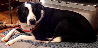 Border Collie Mix Dog for adoption in Amarillo, Texas - Marlo