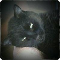 Domestic Shorthair Cat for adoption in Pueblo West, Colorado - Sadie