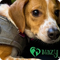 Beagle Mix Dog for adoption in Newport, Kentucky - Mazy
