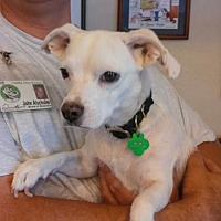 Beagle/Chihuahua Mix Dog for adoption in Scottsdale, Arizona - Penelope