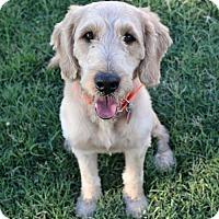 Adopt A Pet :: Toby - GoldenDoodle - Abilene, TX