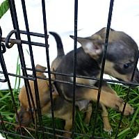 Chihuahua/Yorkie, Yorkshire Terrier Mix Puppy for adoption in Wyanet, Illinois - Renesme