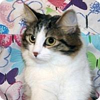 Domestic Mediumhair Cat for adoption in Wildomar, California - Lucca