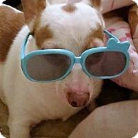 Chihuahua Dog for adoption in Mastic Beach, New York - WISHBONE!!