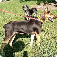 Adopt A Pet :: Briar - Macomb, IL