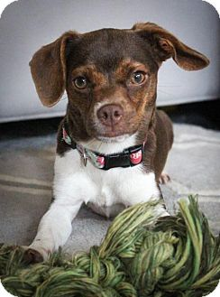 Chihuahua/Pug Mix Dog for adoption in Houston, Texas - Dory