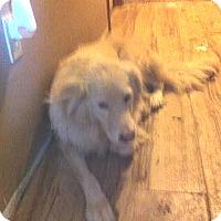 Great Pyrenees/Maremma Sheepdog Mix Dog for adoption in McArthur, Ohio - SNOWBALL