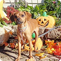 Miniature Pinscher/Chihuahua Mix Dog for adoption in West Chicago, Illinois - Wither