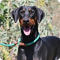 Adopt A Pet :: Shelby - Fillmore, CA