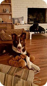 Border Collie Dog for adoption in Allen, Texas - Tobie