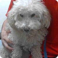 Poodle (Miniature) Dog for adoption in Conroe, Texas - BERNIE