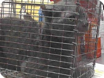Domestic Shorthair Cat for adoption in Tavares, Florida - SMOKEY