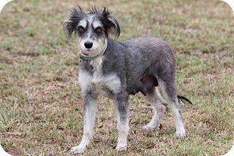 Schnauzer (Standard)/Terrier (Unknown Type, Medium) Mix Dog for adoption in Broken Arrow, Oklahoma - Gizmo