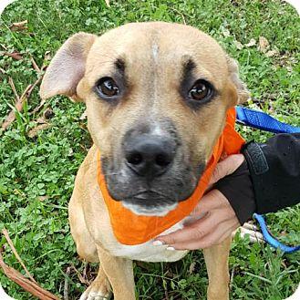 Boxer Mix Dog for adoption in Sunnyvale, California - Bobby