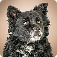 Adopt A Pet :: Socks - Prescott, AZ