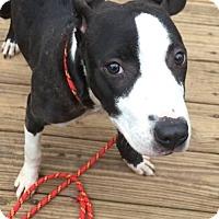 Adopt A Pet :: Dior - Glenolden, PA