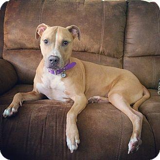 Labrador Retriever/American Pit Bull Terrier Mix Dog for adoption in San Juan Capistrano, California - Baby