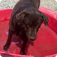 Labrador Retriever Mix Dog for adoption in valley center, California - mabel