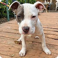 Adopt A Pet :: Holden - Santa Ana, CA