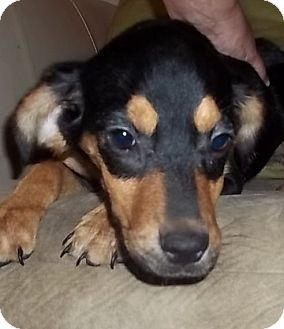 Beagle/Rottweiler Mix Puppy for adoption in Plainfield, Connecticut - Tocara