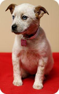 Australian Shepherd/Blue Heeler Mix Puppy for adoption in Berkeley Heights, New Jersey - Patches